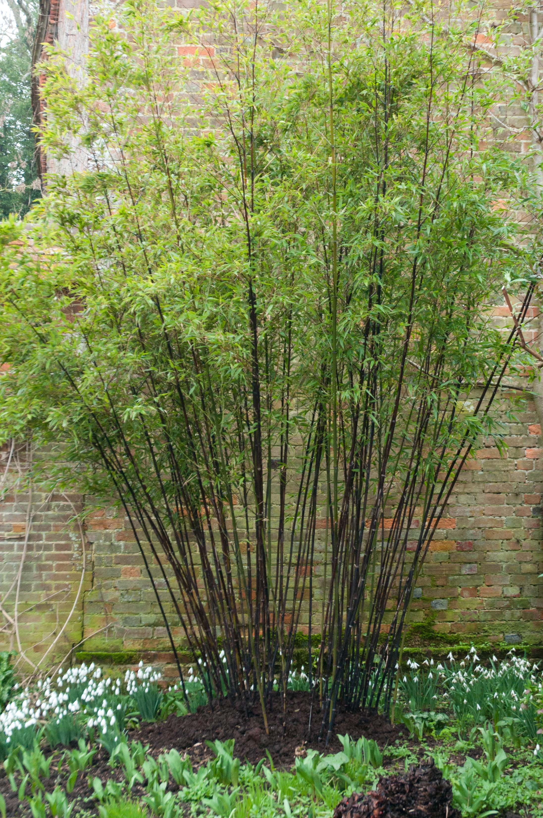 Pruning Phyllostachys nigra | Out of my shed