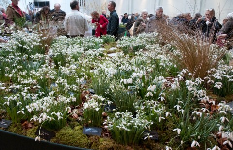 Snowdrops on Avon Bulbs Stand