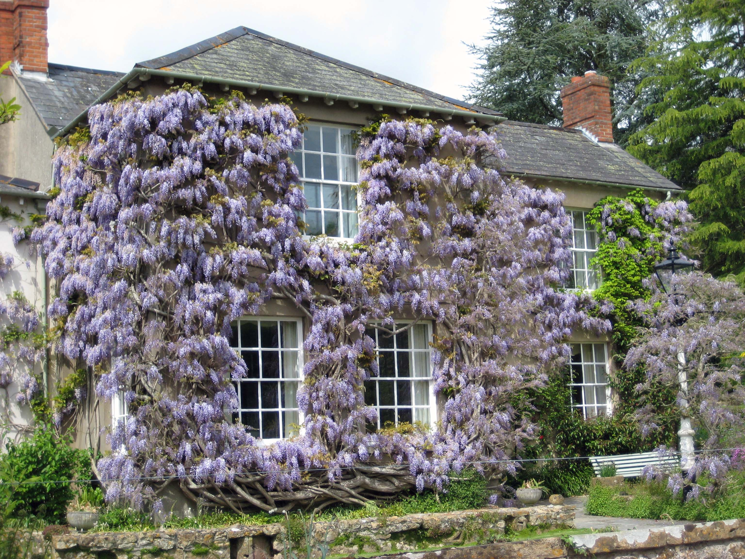 Wisteria to cover walls out of my shed for The wisteria