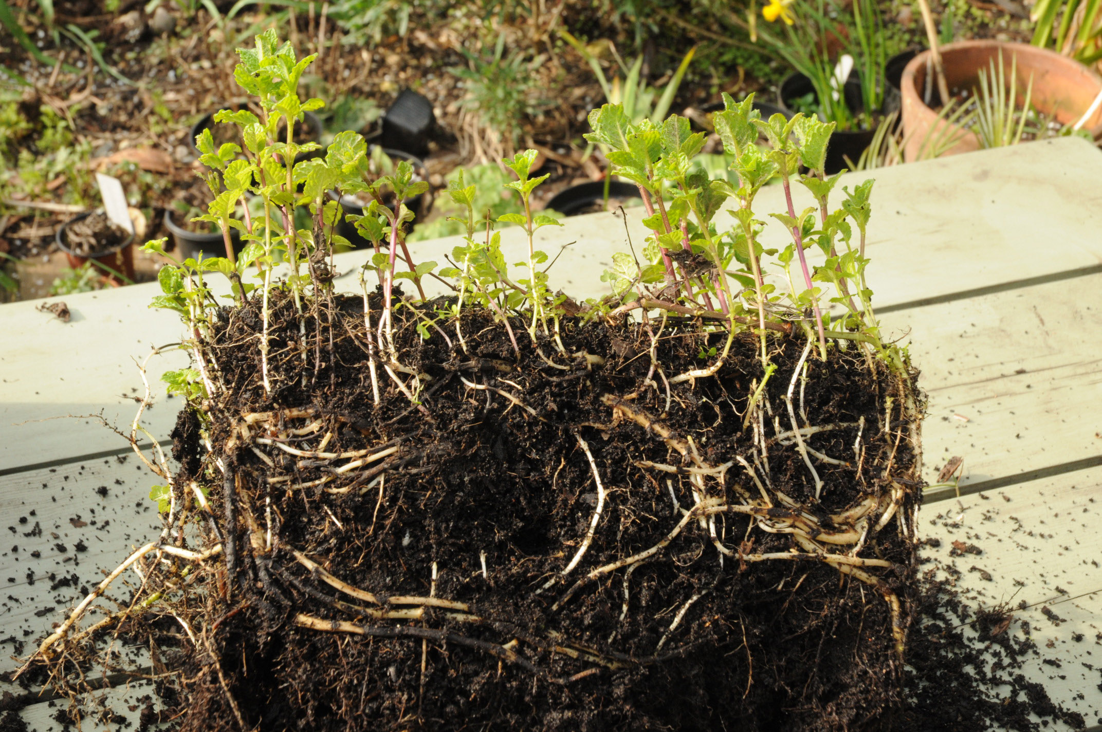 Name Vegetable Root: Good Time To Re-pot Mint