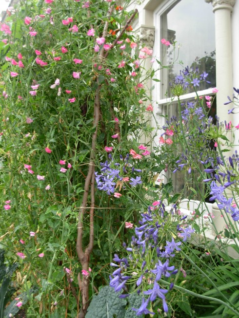 Sweet peas and Agapanthus by the front door
