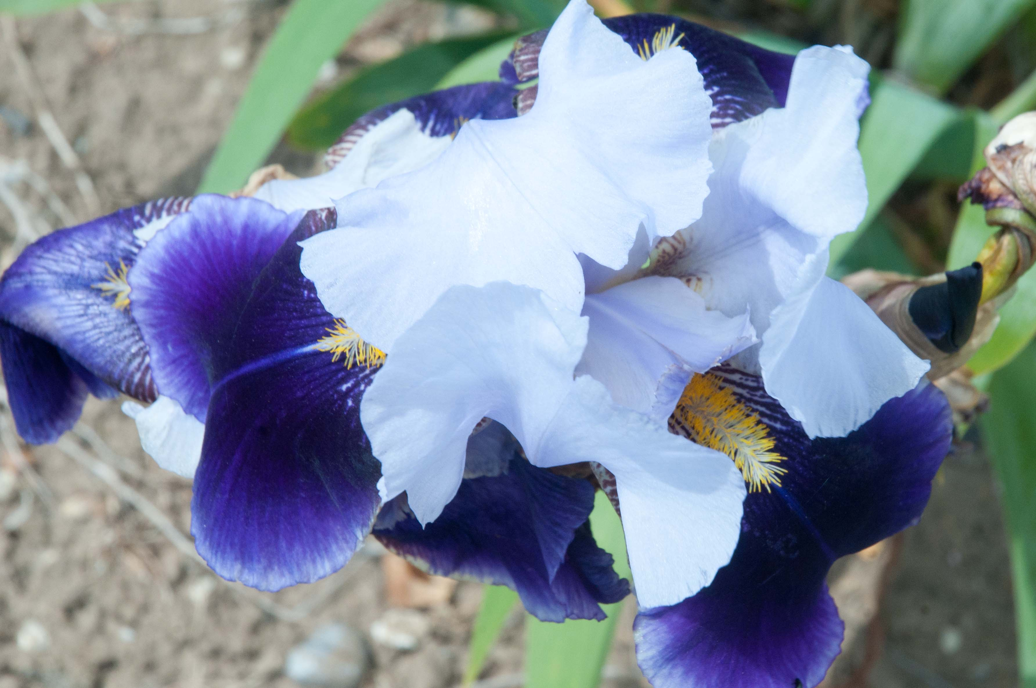irises out of my shed. Black Bedroom Furniture Sets. Home Design Ideas