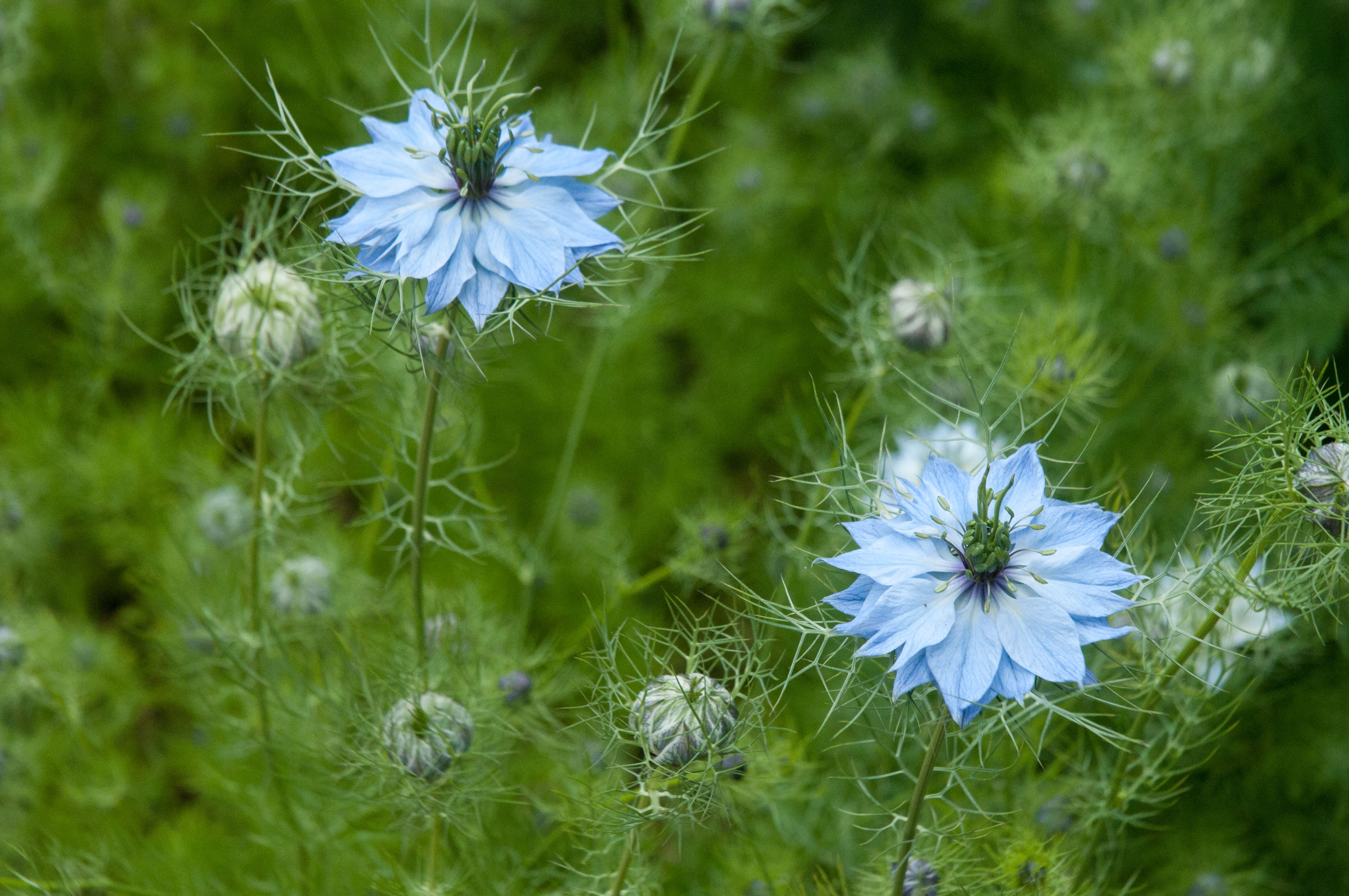 Nigella out of my shed for Plante nigelle
