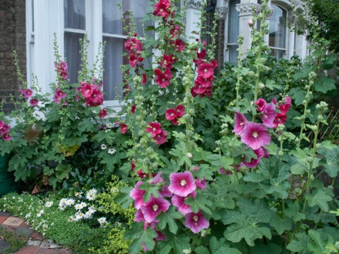 Lindsey's garden full of Hollyhocks
