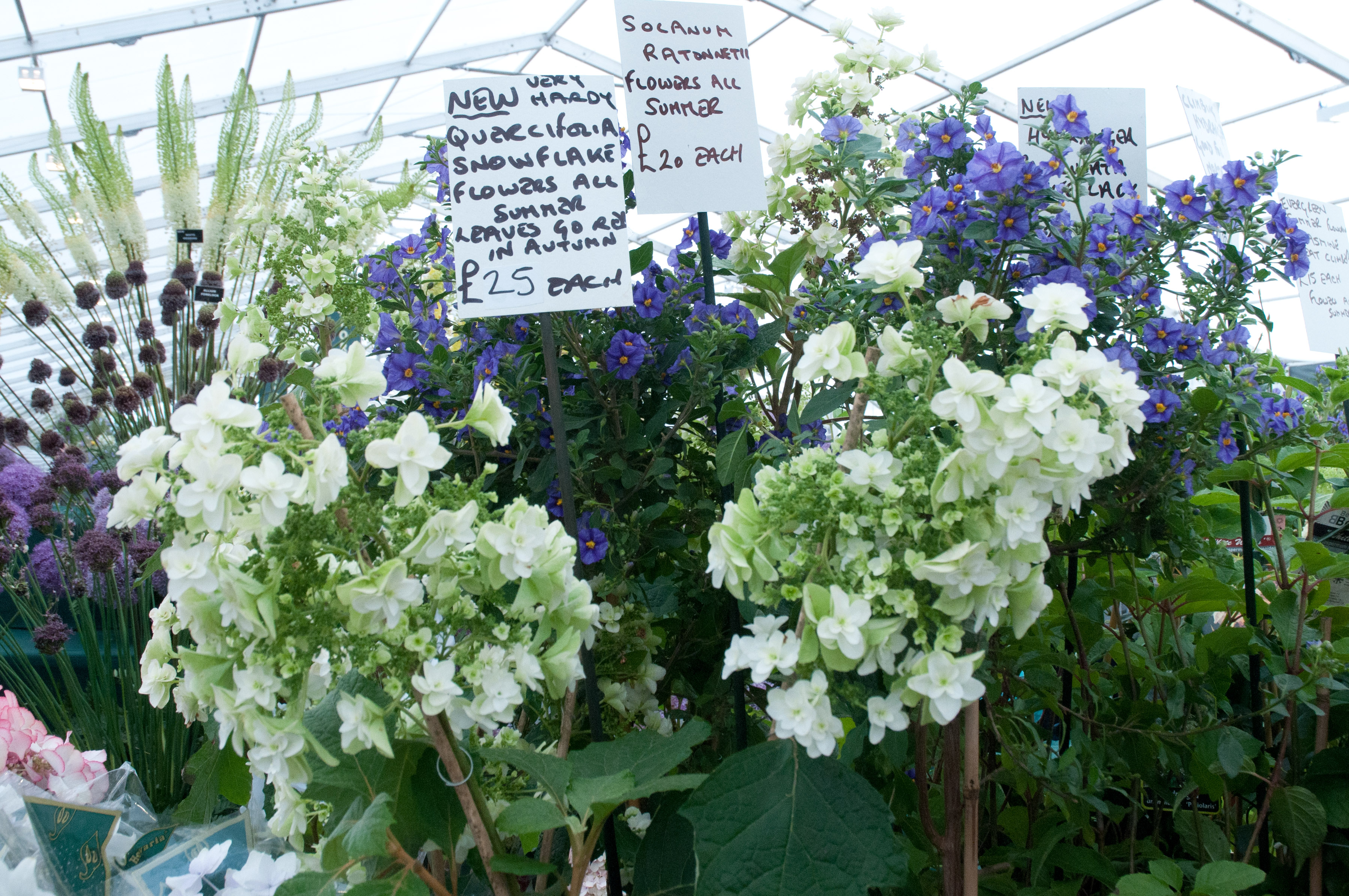 Lush garden planting out of my shed for Hydrangea quercifolia