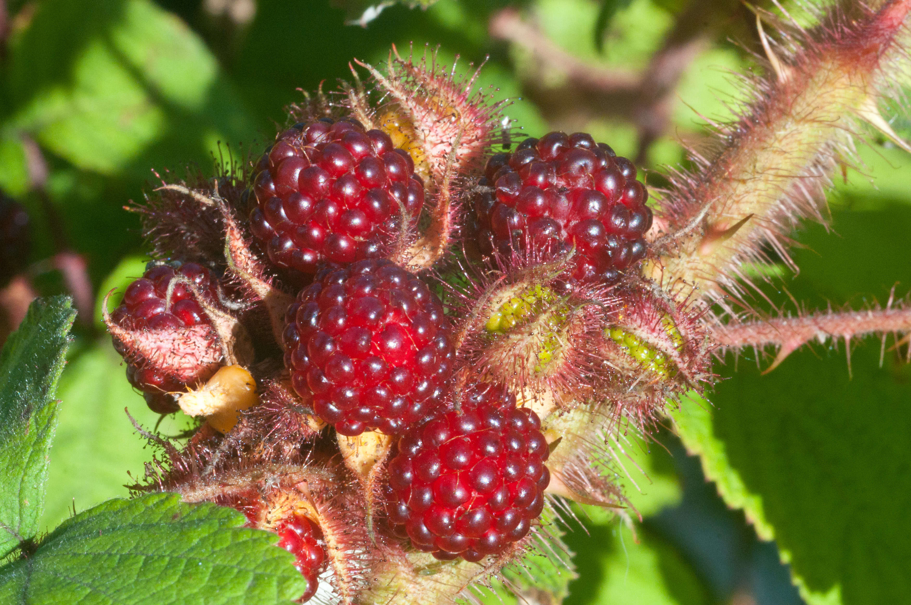 red berries wild spiky vine raspberry-like | Out of my shed