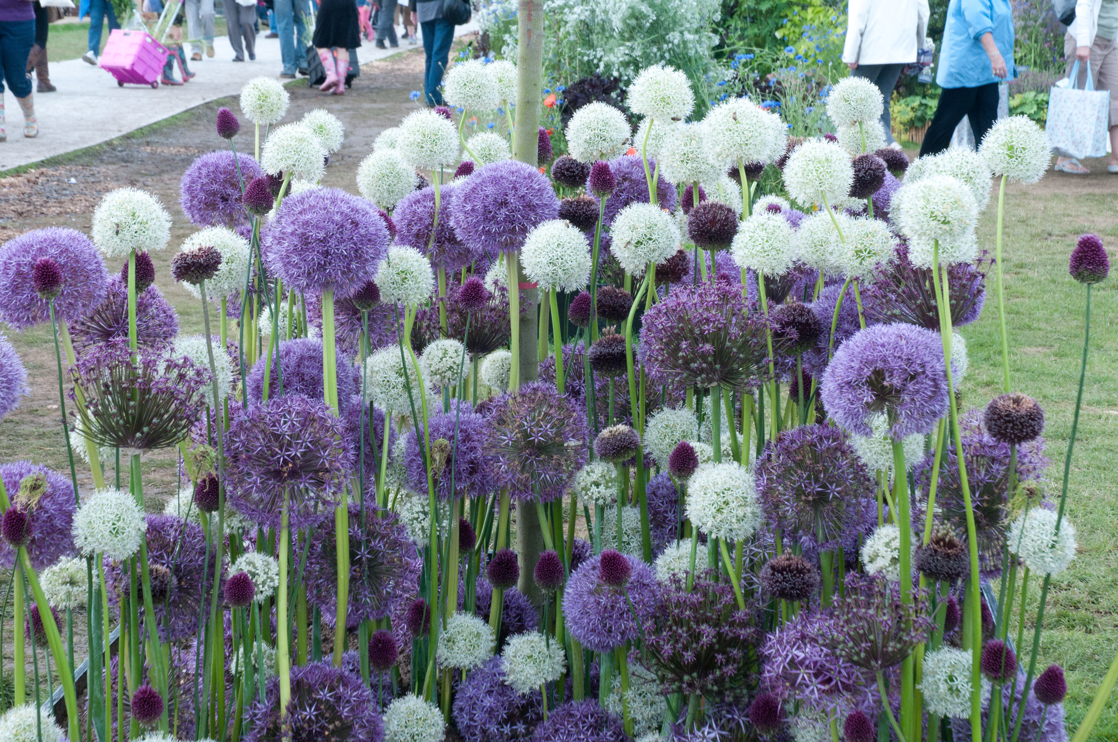 Allium out of my shed for Planting a garden