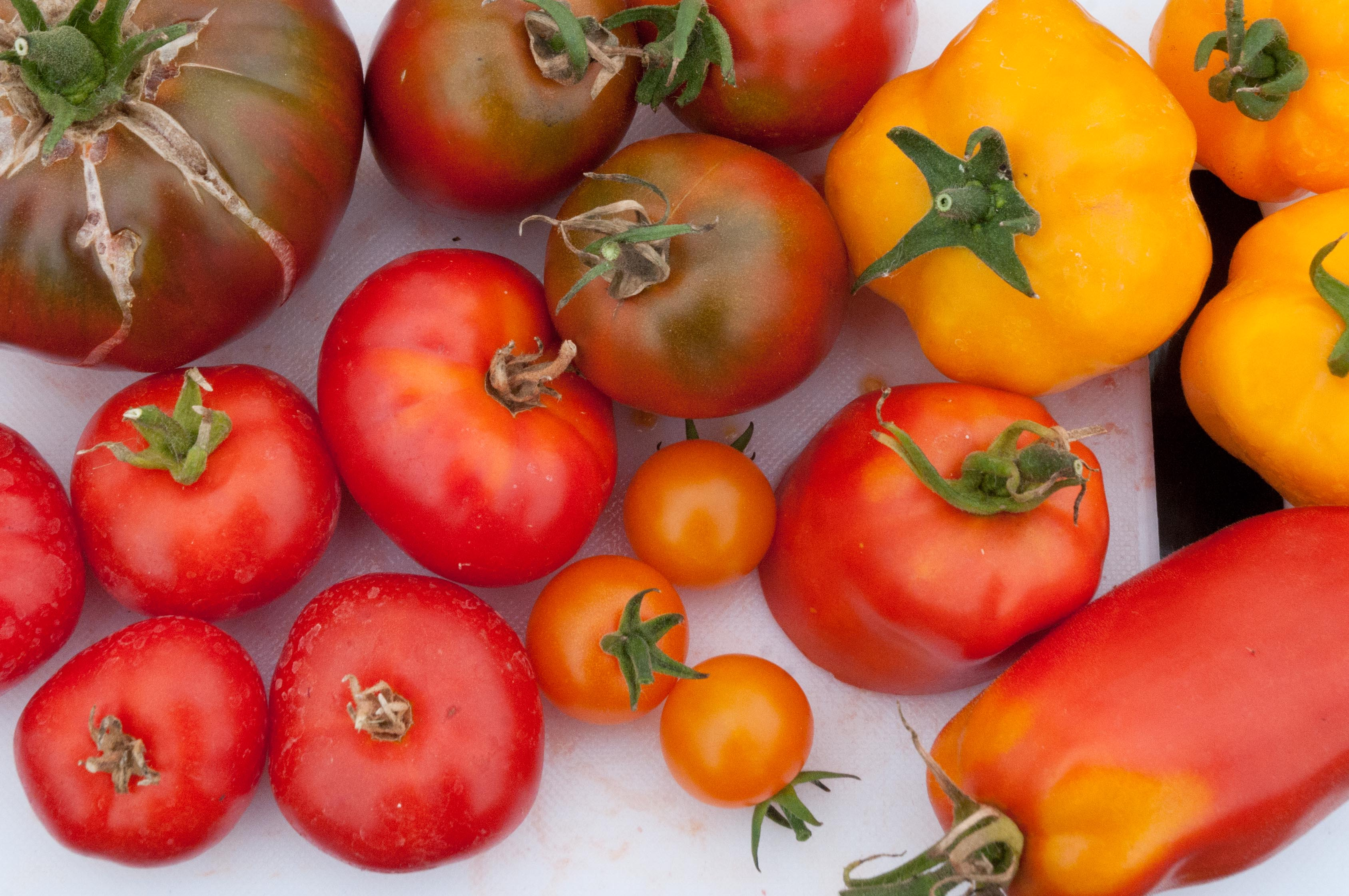 Tomatoes -finding the best tasting variety Out of my shed