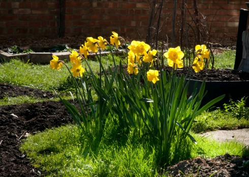 Daffodils in corner plot