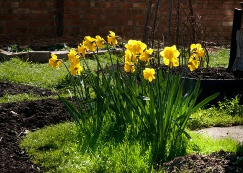 Daffodils in corner plot