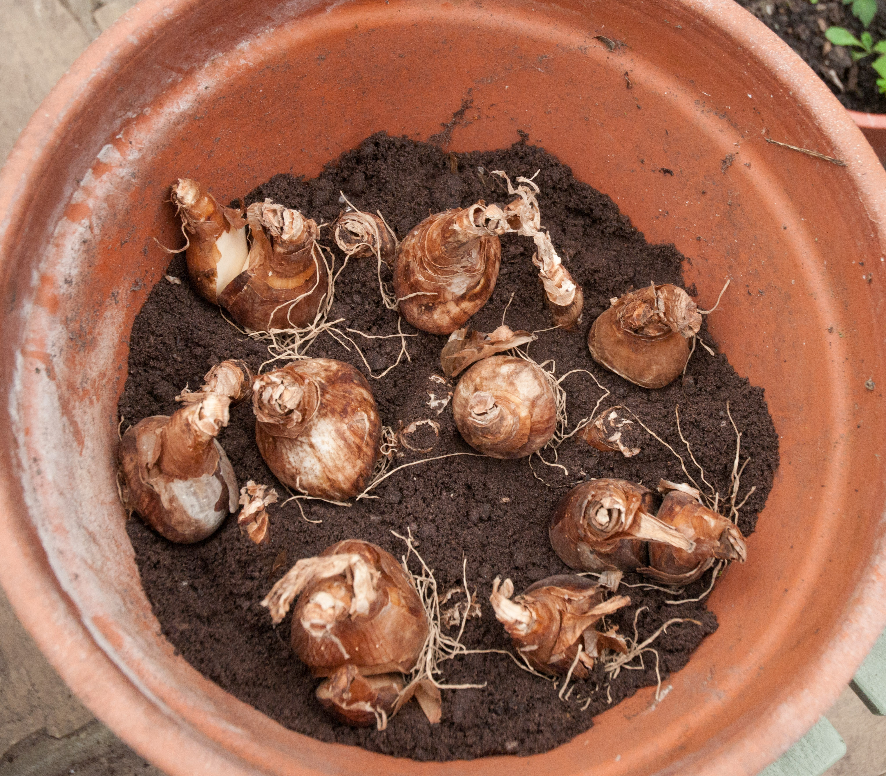 When how to plant daffodil bulbs - Next