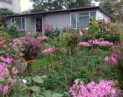 Nerines floweing alongside Dahlias, as seen on the fab 'Through the garden gate' blog