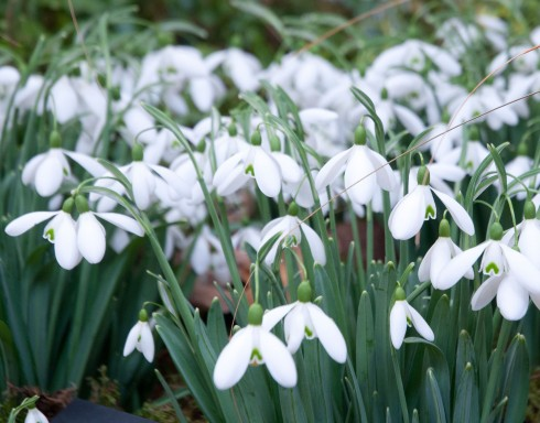 Snowdrops on the Avon Bulbs stand