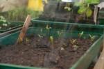 Outside in mini greenhouse, Swiss Chard 'Bright Light' seedlings