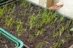Outside in mini greenhouse leek seedlings