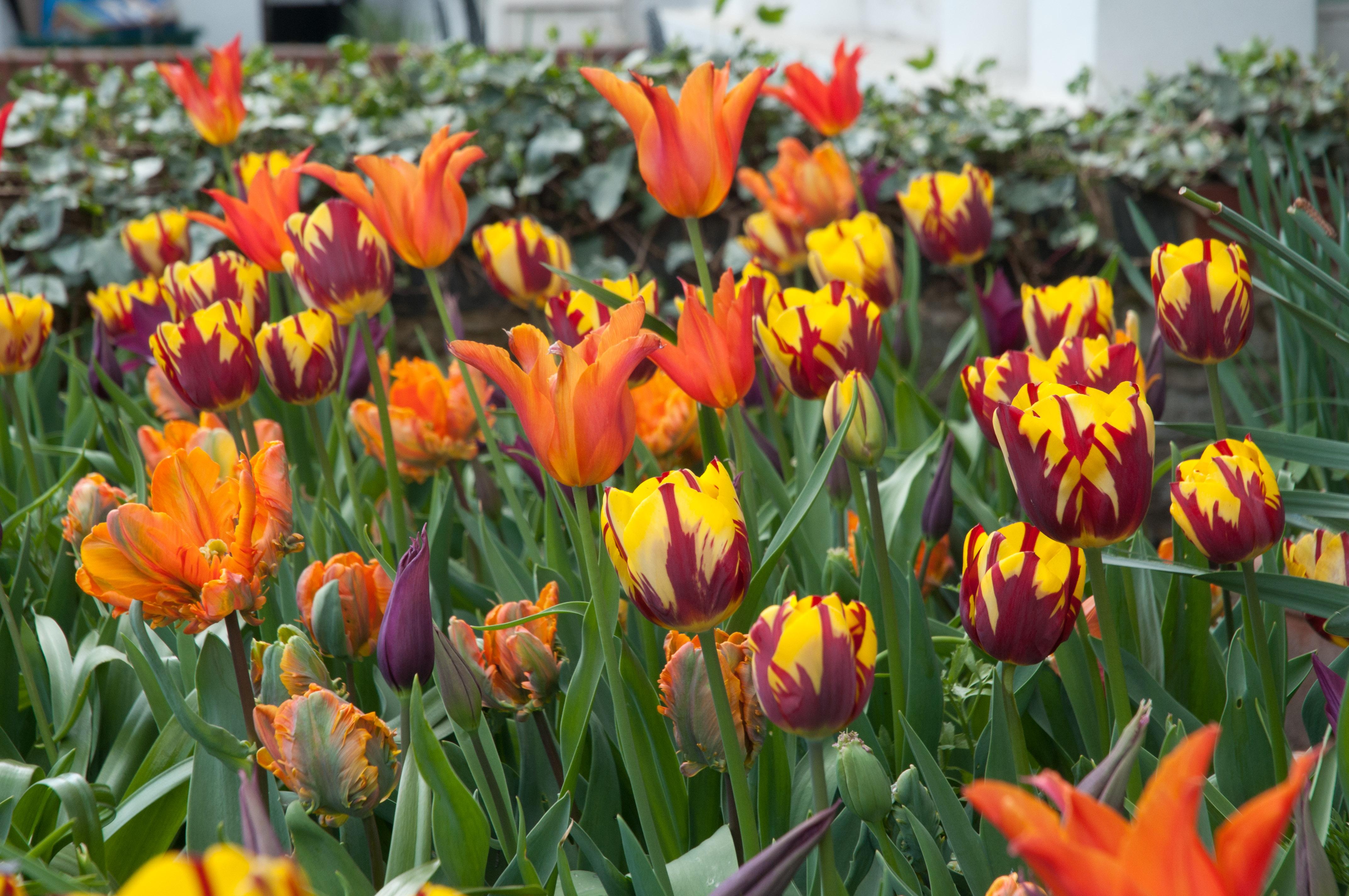 Ballerina Tulips In Front Garden