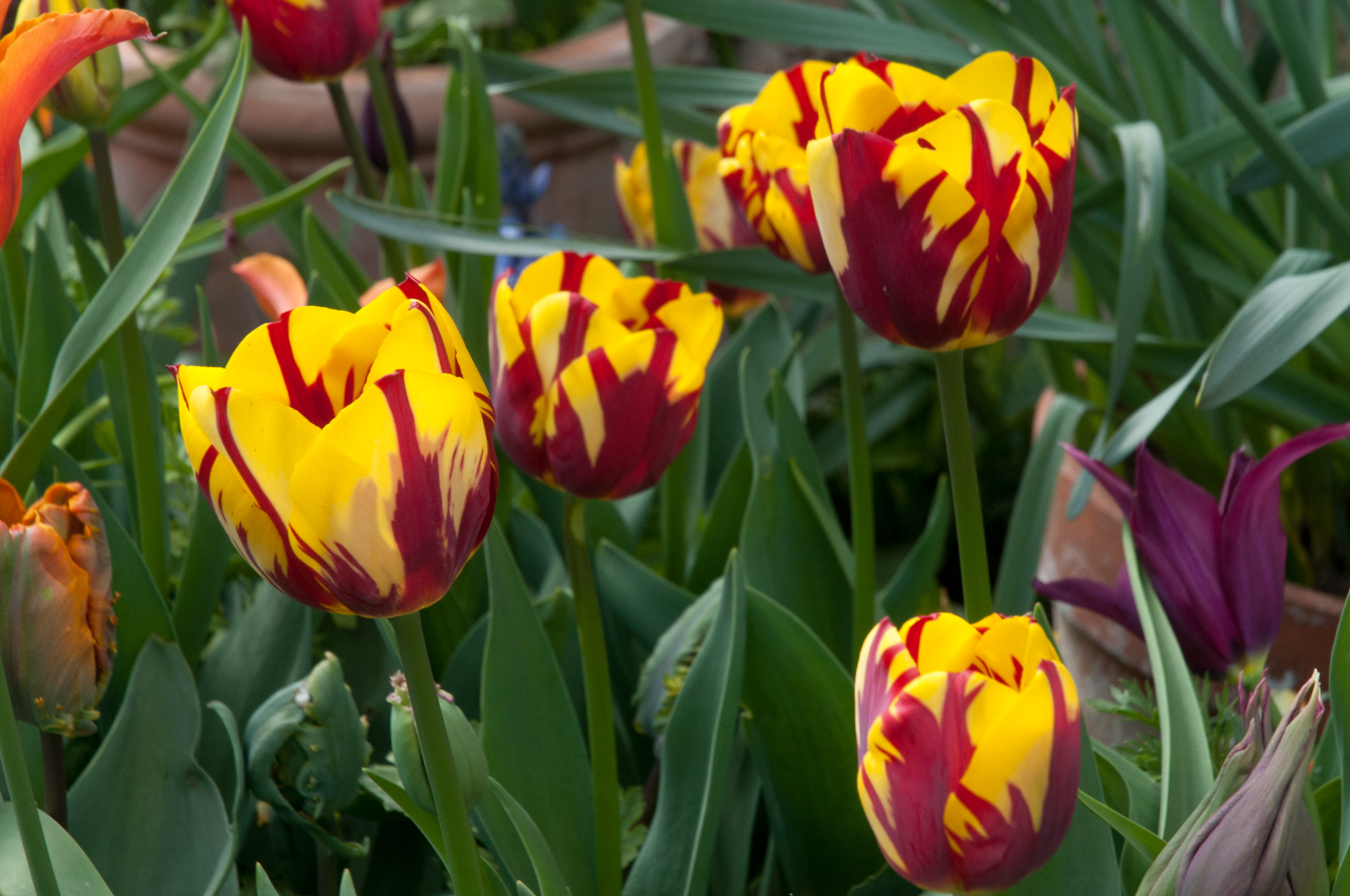 Peter nyssen bulbs out of my shed for Tulipe bulbe
