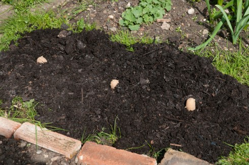 Chitted Charlotte potatoes in April
