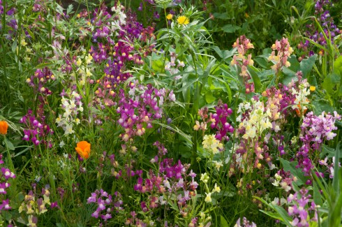 Fairy Toadflax AKA Linaria moroccana 'Fairy Bouquet Mixed'