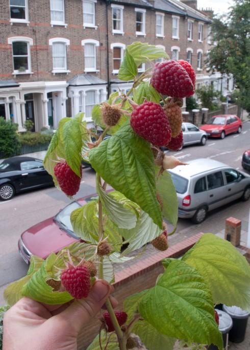 Autumn fruiting raspberries