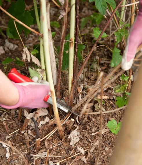 Pruning summer fruiting raspberries