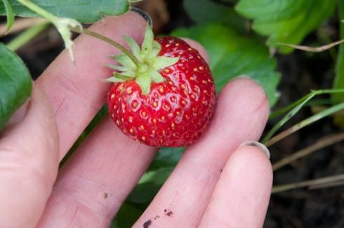 Mara des bois strawberry in October 2