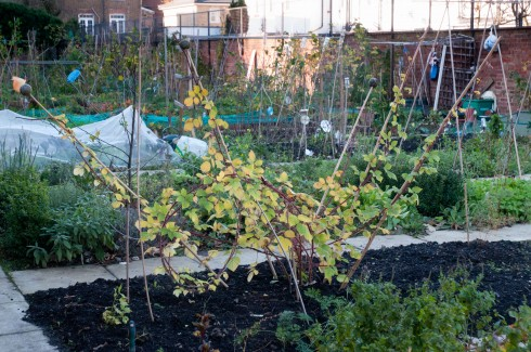 Japanese wineberry at the allotment