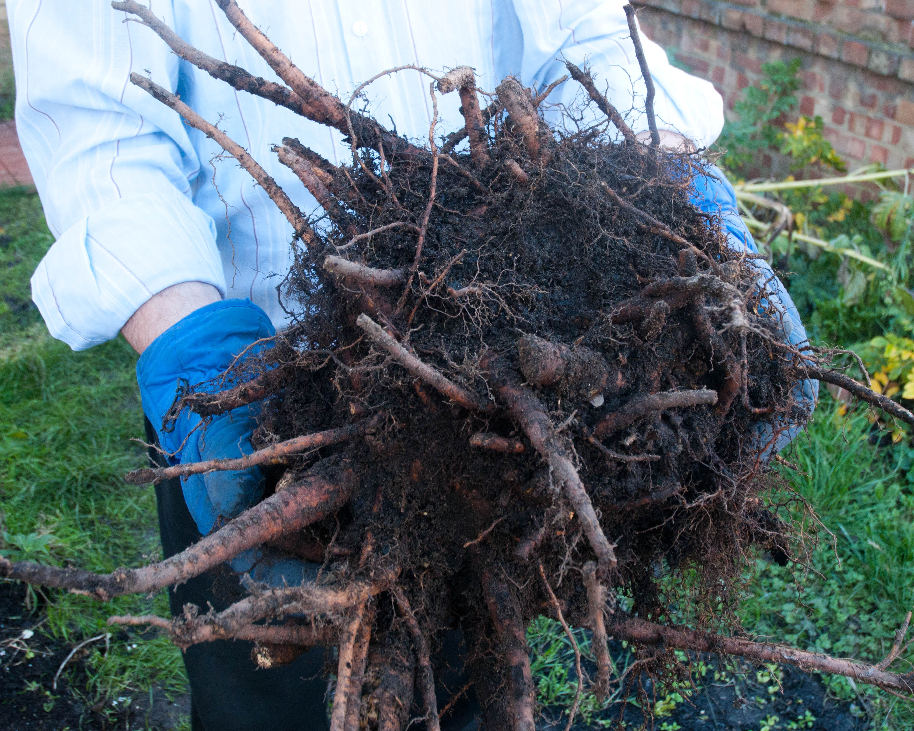 How to plant rhubarb in the fall - I Needed A Rhubarb Crown For Pics For My Book Pronto So I Thought The Best Thing To Do Was To Dig Up And Divide A Rhubarb Plant On My Allotment