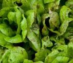 Cos freckles lettuce 2