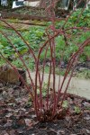 Japanese Wineberry after pruning 2