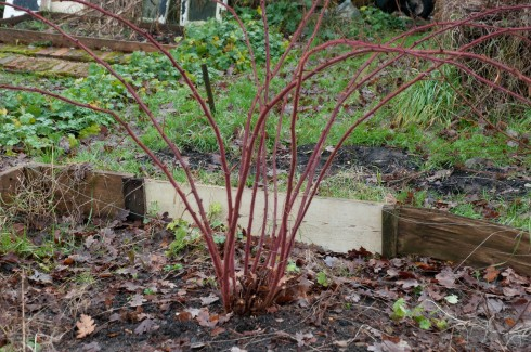 Japanese Wineberry after pruning landscape