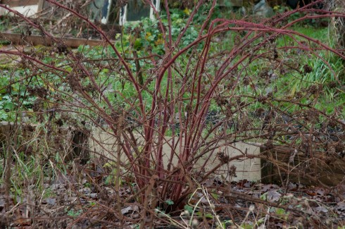 Pruning Japanese Wineberries Out Of My Shed