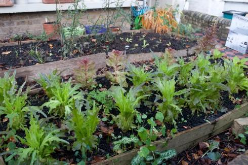 Lettuces at  beg December