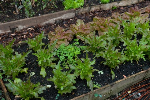 Lettuces in the beginning of October
