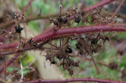 New and old Japanese Wineberry stems
