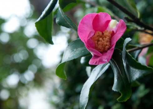 Camellia sasanqua flower opening in January