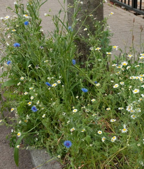 Cornflowers and daisies in tree pit