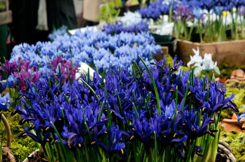 Irises at the RHS Feb show 2
