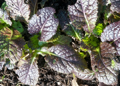 Red Giant mustard leaf
