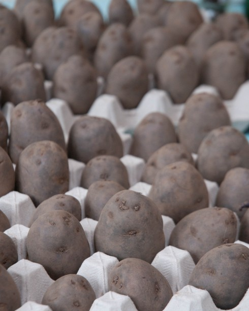 Slad Blue potatoes chitting