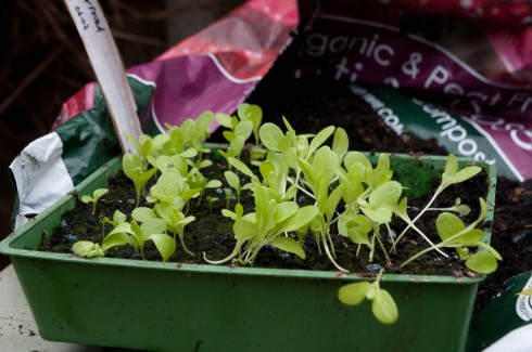 All Year Round lettuce-leggy