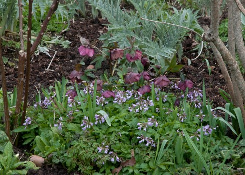 Purple Hellebore planted with Cardimine quinquefolia