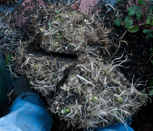 Agapanthus roots 3