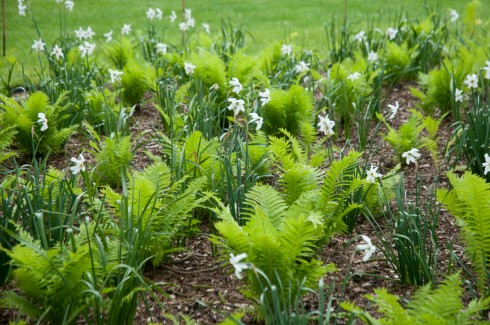 Ferns and Narcisus poeticus at the Inner Temple garden