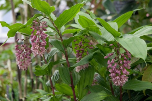 Maianthemum flexuosum from Crug Farm plants at Chelsea 2013