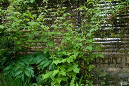 Raspberries as a screen in Deborah Nagan's garden May 2013