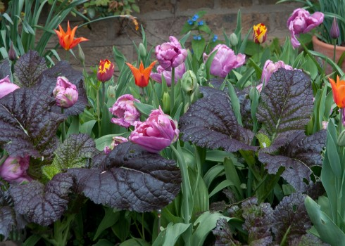 Tuliopa Rai with Red Giant mustard leaf, orange Ballerina and red and Yellow Helmar Tulips