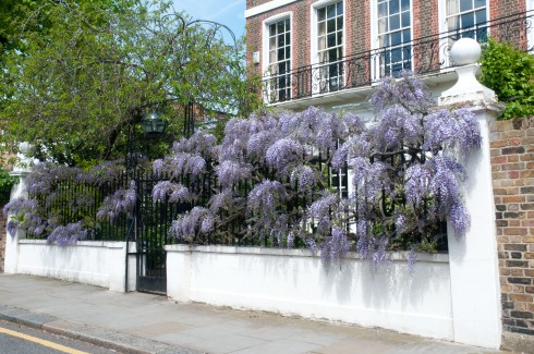 Wisteria in Swan Walk