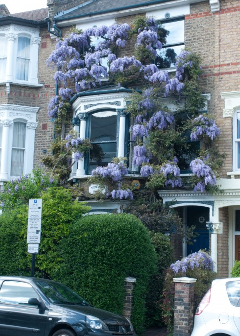 Wisteria on Aubert Park