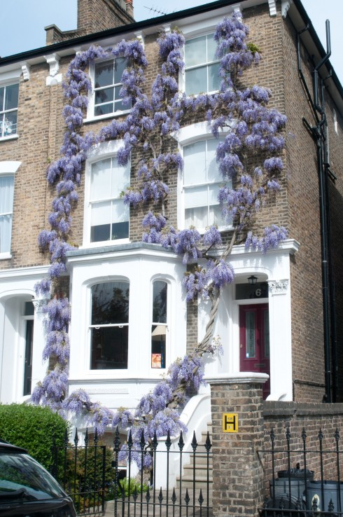 Wisteria on Laurier Road 2